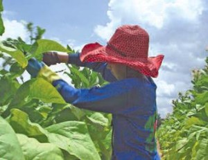 Children working Tobacco Fields – Source: Human Rights Watch