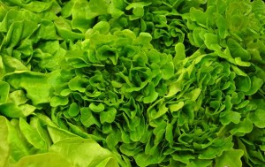 Paul Mock's Lettuce