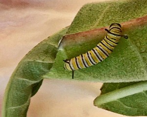 An emerging caterpillar