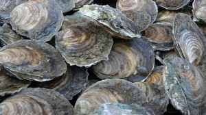 Oysters at risk